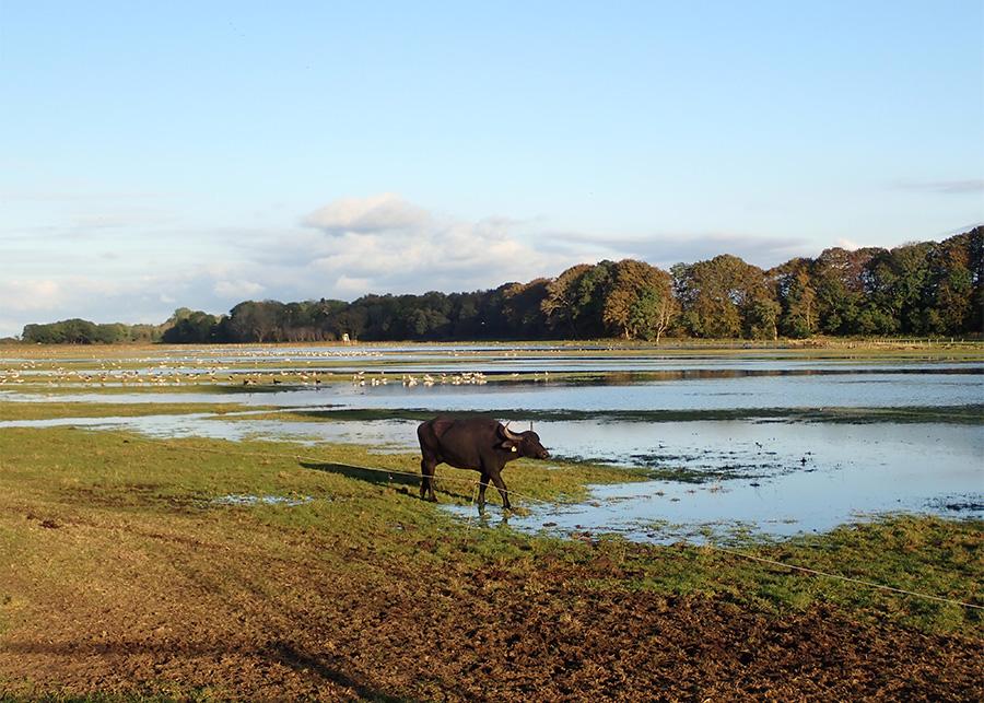 Wilde-Kuh-und-Voegel-am-Fluss-foto-©-Dagmar-Falk einfach wandern.de